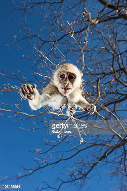 Vervet Monkey (Cercopithecus Aethiops) hanging from tree, Namibia