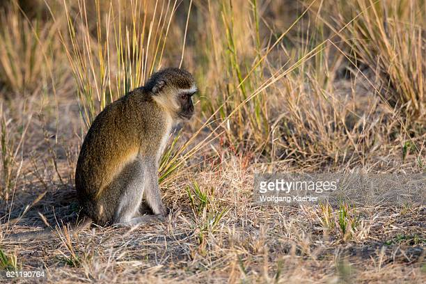 Vervet monkey in South Luangwa National Park in eastern Zambia