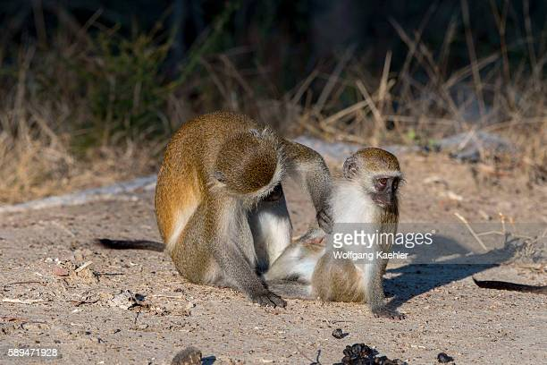 Vervet monkey is grooming her baby in Liwonde National Park Malawi