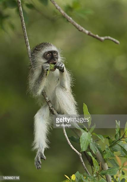 A vervet monkey is pictured in Kruger National Park on February 6 2013 in Skukuza South Africa
