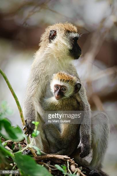 Vervet Monkey (Chlorocebus pygerythrus), Lake Manyara National Park, Tanzania