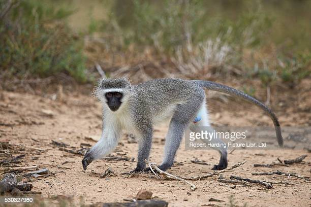 Vervet Monkey (Chlorocebus aethiops), Mountain Zebra National Park, South Africa