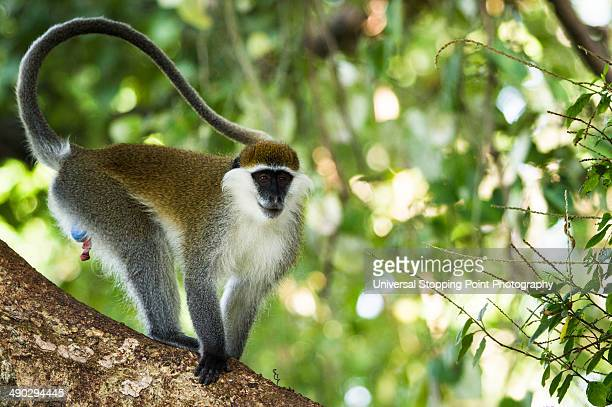 Vervet Monkey Perched in Tree