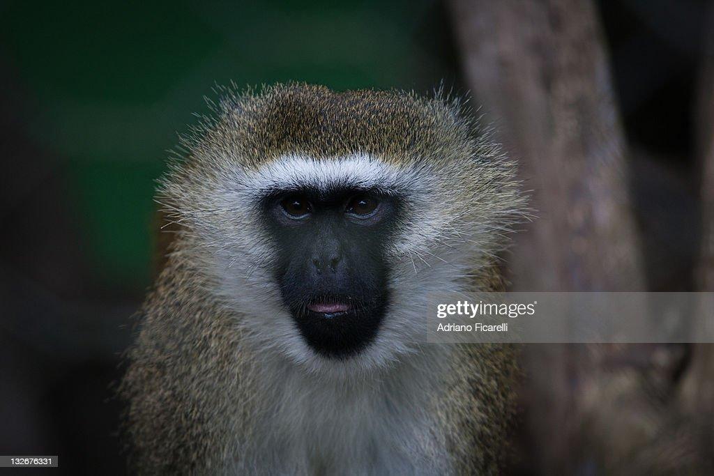 Vervet monkey : Foto stock