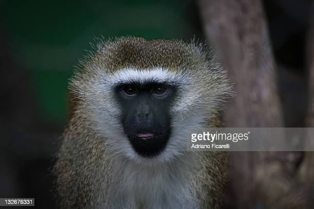 vervet monkey - adriano ficarelli photos et images de collection