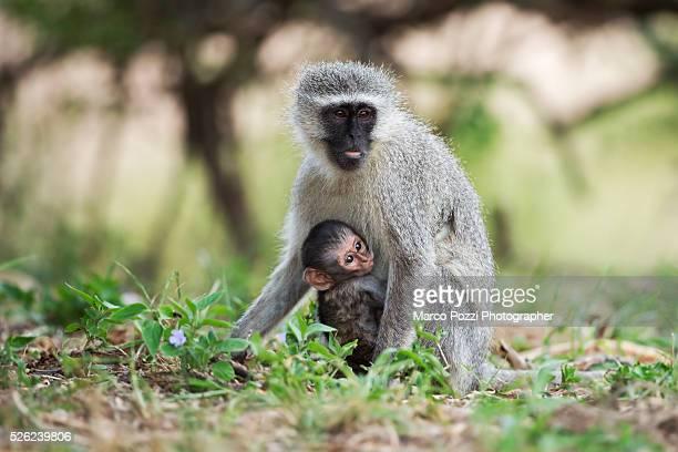 vervet monkey - mamma e figlio stock pictures, royalty-free photos & images