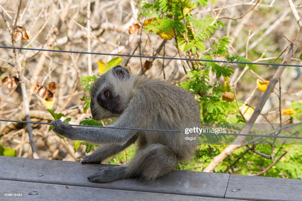Vervet monkey playing around the dinning area : Stock Photo