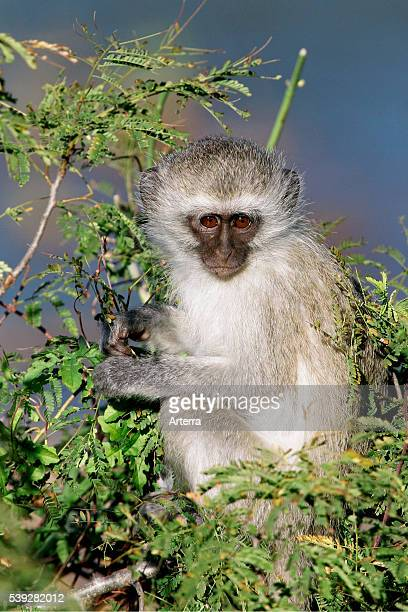 Vervet monkey portrait Kruger National Park South Africa