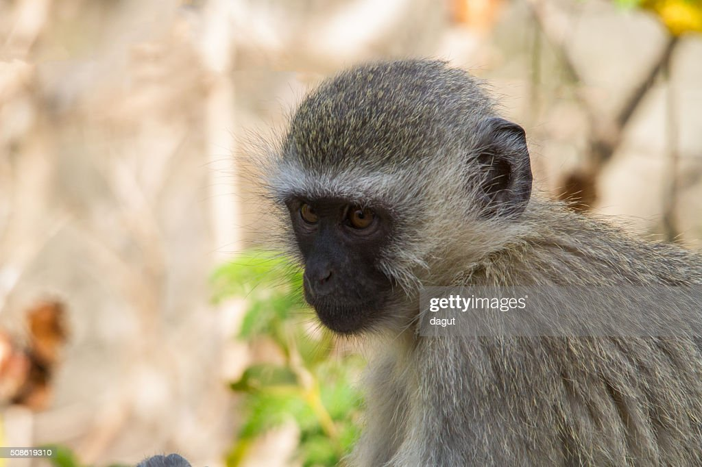 Vervet monkey portrait : Stock Photo