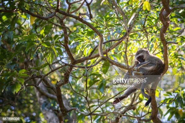 Vervet monkey (Chlorocebus pygerythrus) sitting on a branch in treetops