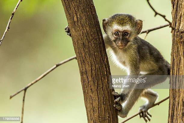 Vervet Monkey youngster