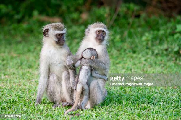 vervet monkeys, chlorocebus pygerythrus, sit upright in green short grass, looking away, mother hugging baby into chest - hairy chest 個照片及圖片檔