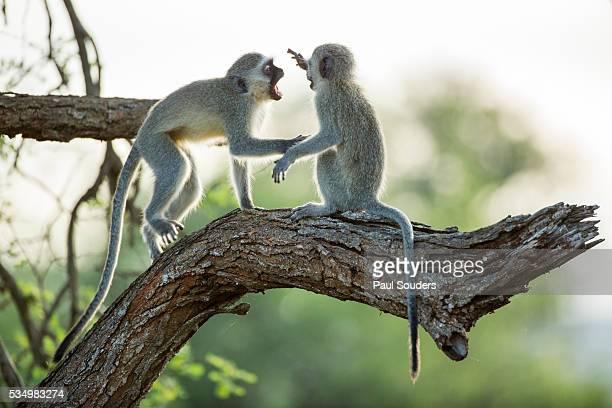 Vervet Monkeys Fighting in Forest, Kruger National Park, South Africa