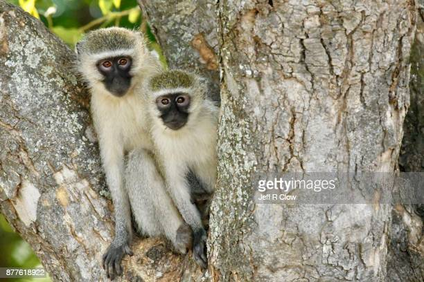 Vervet monkeys in a tree too