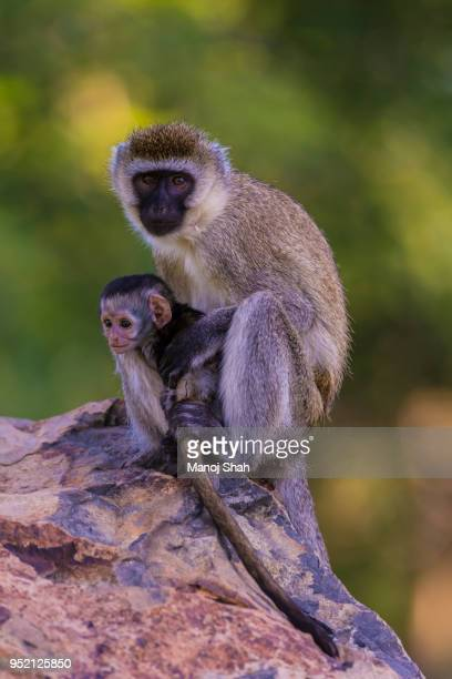 Vervet mother and baby sitting together on a rock