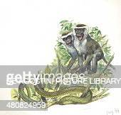 Vervet or Green Monkeys giving alarm calls to signal the presence of a snake illustration