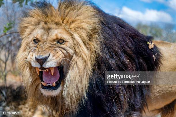 very angry lion - lion stock pictures, royalty-free photos & images