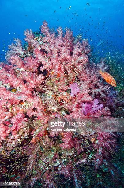 Very beautiful pink softcoral with cod