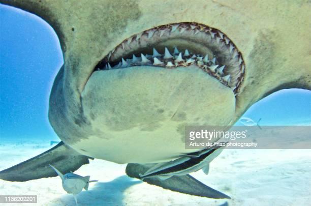very close portrait of great hammerhead shark in bimini, bahamas - hammerhead shark stock pictures, royalty-free photos & images