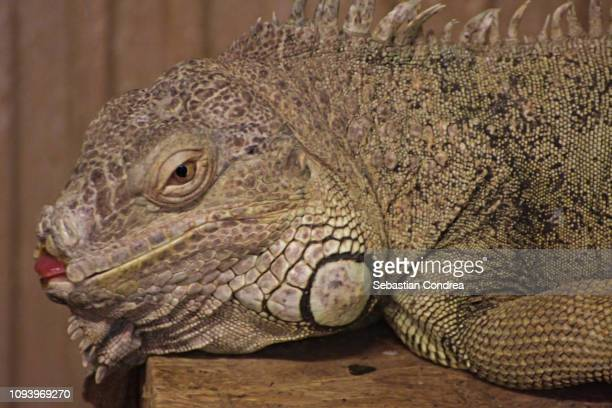 Very close portrait of iguana with tongue out,Wildlife animal, Malaysia