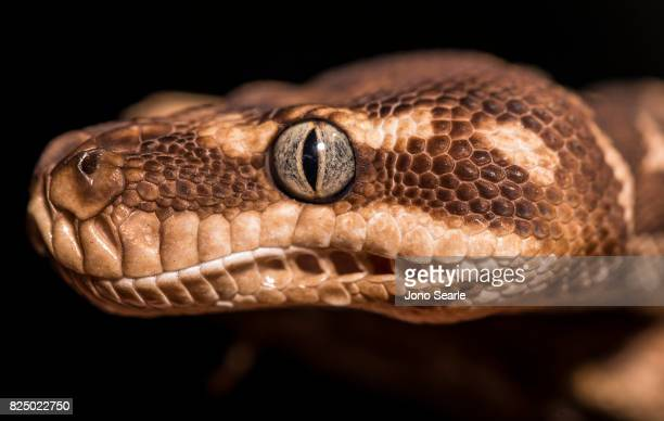 A very closeup image of the head and eye of a Rough Scaled Python Rough Scaled Pythons are only found in the NorthWest Kimberley district of Western...