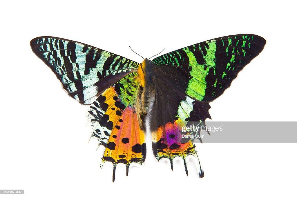 Very colorful moth Urania riphaeus : Stock Photo