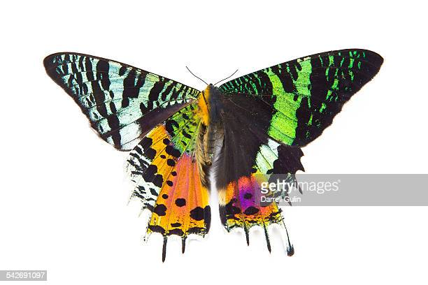 very colorful moth urania riphaeus - sunset moth stock photos and pictures