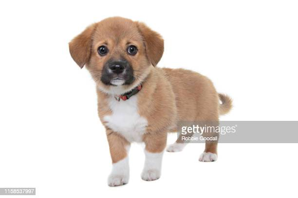 a very cute beaglier puppy looking at the camera on a white backdrop. the beaglier is a cross between a beagle and cavalier charles spaniel. - cavalier king charles spaniel stock pictures, royalty-free photos & images