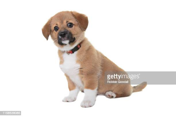 a very cute beaglier puppy looking at the camera on a white backdrop. the beaglier is a cross between a beagle and cavalier charles spaniel. - ビーグル ストックフォトと画像