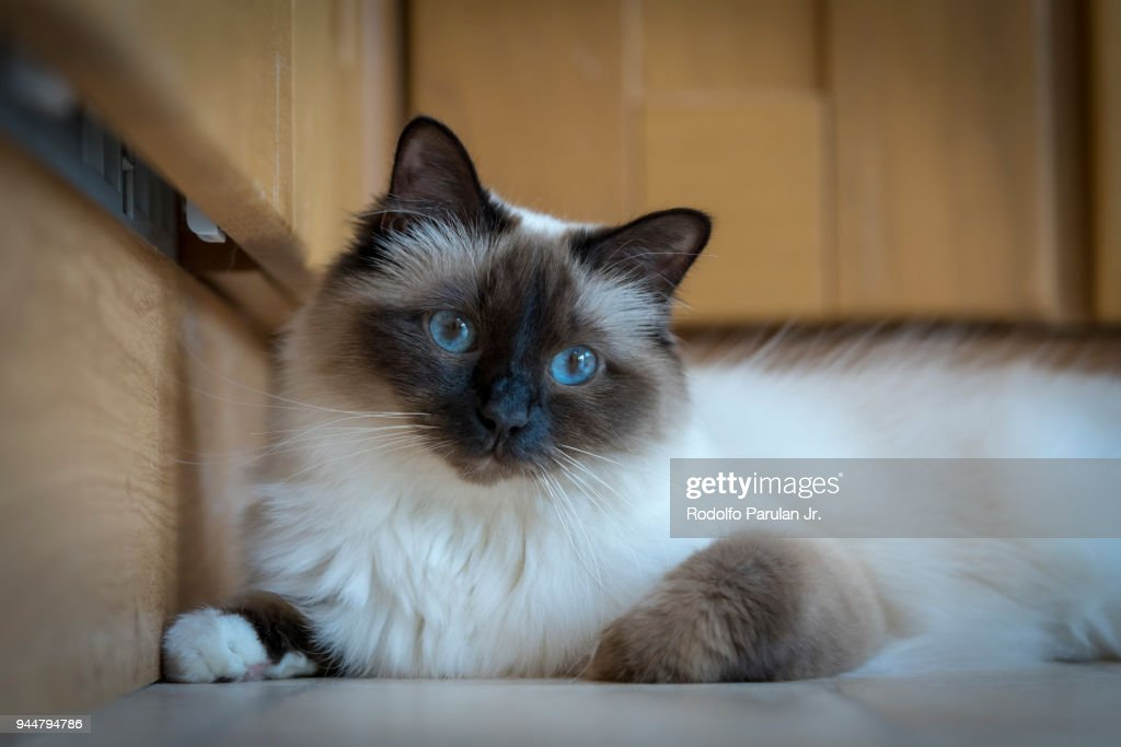 A very cute Birman cat with blue eyes : Stock Photo