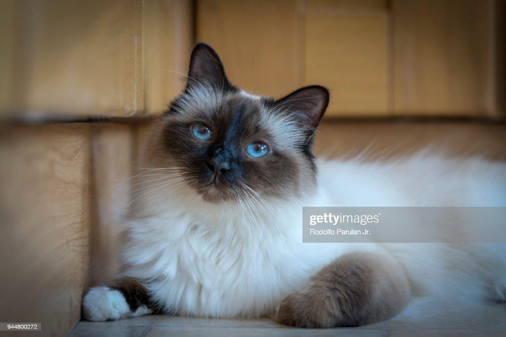 A very cute Birman cat with blue eyes : Stock Photo