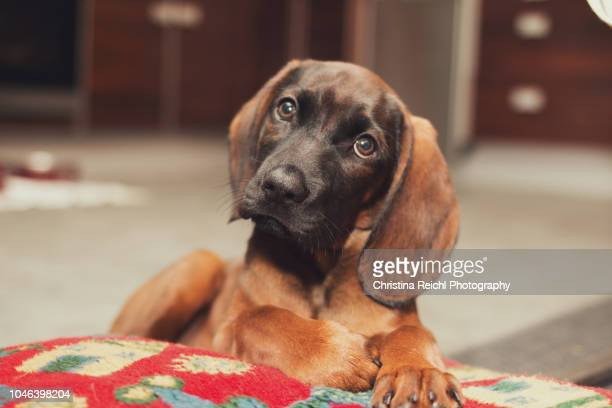 very cute dog sitting on a cushion and looking into the camera - staring stock pictures, royalty-free photos & images