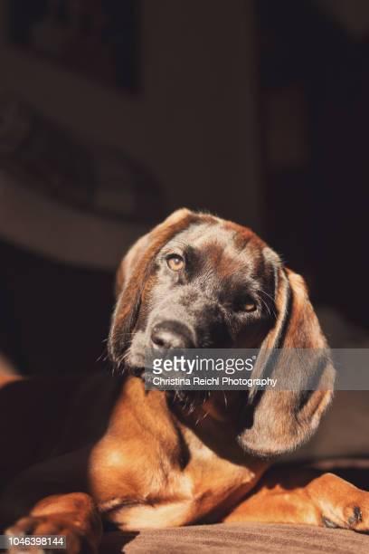 very cute puppy enjoying the sun on the couch - christina braun stock-fotos und bilder