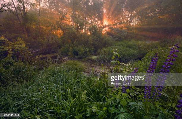 very early morning in june - lunin stock photos and pictures