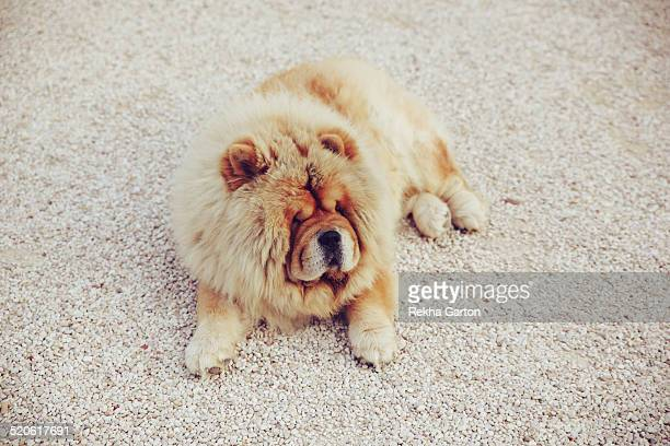 very fluffy chow dog laying outside - rekha garton stock pictures, royalty-free photos & images