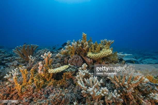 Very healthy coral reef on February 15 Gambier Islands, French Polynesia, South Pacific. Coral reefs are suffering from global warming and the...