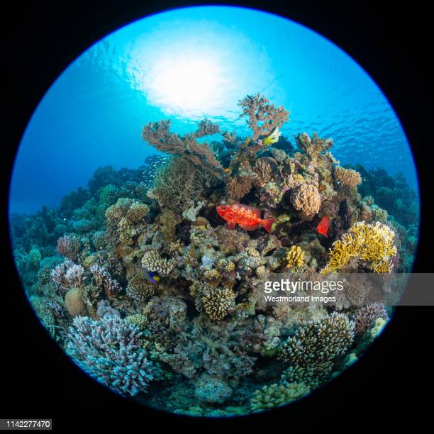 very healthy coral reef with bigeye squirrelfish (priacanthus hamrur) in foreground, northern red sea, egypt. - squirrel fish photos et images de collection