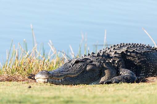 Very large American Alligator mississippiensis 916741300