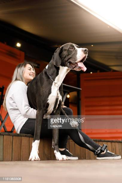 a very large dog on owner's lap - lap dog stock pictures, royalty-free photos & images
