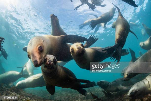 a very large number of south american sea lions swimming towards the camera at a colony in the nuevo gulf, valdes peninsula, argentina. - foca imagens e fotografias de stock