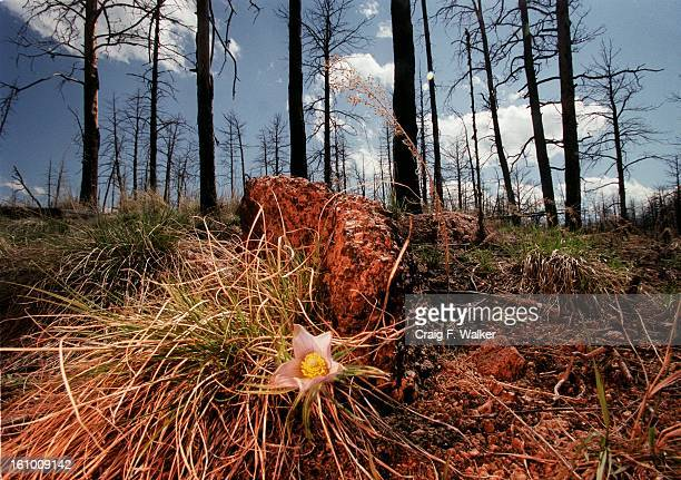 Very little vegetation is found in the charred remains of the 1996 Buffalo Creek fire A year after the HiMeadow wildfire Chief Jeff Davis of the...