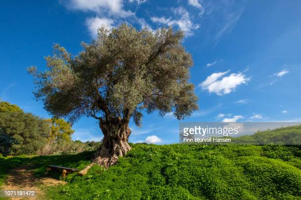 very old big olive tree in a green field with clear blue sky. sitting bench in the front - finn bjurvoll stock photos and pictures