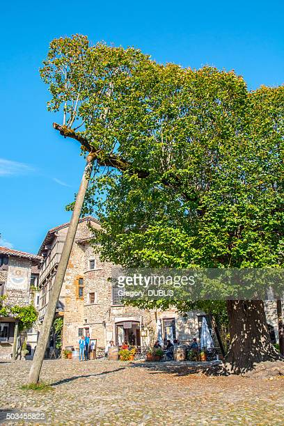 very old lime tree on the perouges medieval village square - ain france stock pictures, royalty-free photos & images