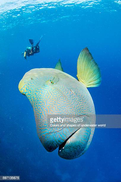 very playful giant humphead fish and diver - メガネモチノウオ ストックフォトと画像