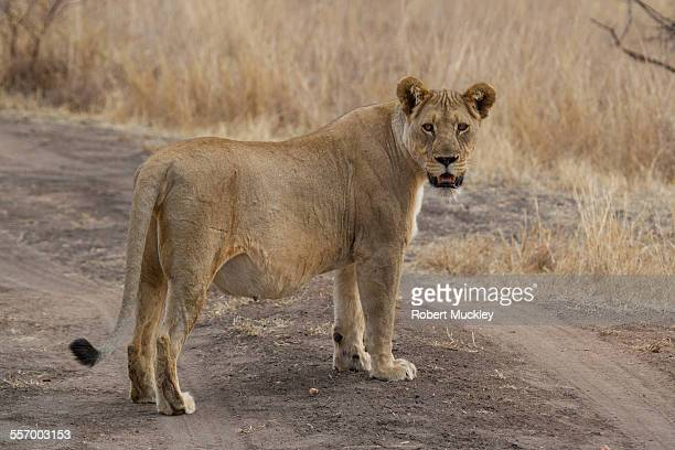 Very Pregnant Lioness