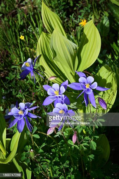 very purple columbines, near sun, with a corn lily - カリフォルニアバイケイソウ ストックフォトと画像