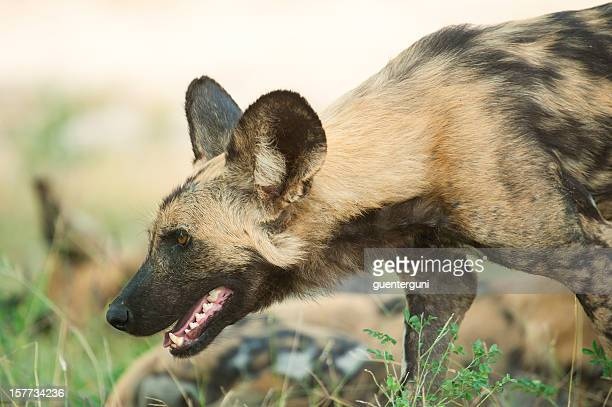 very rare and highly endangered african wild dog, wildlife shot - wildlife reserve stock photos and pictures