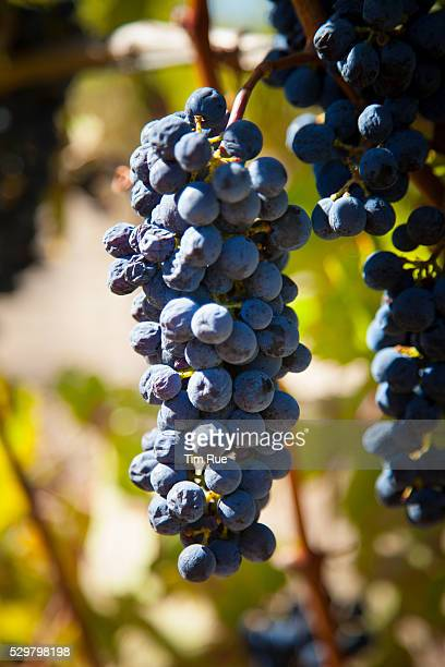 Very ripe cabernet grapes hang on the vine at the end of the growing season at the Lagomarsino Vineyard in Healdsburg CA