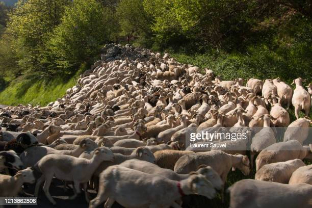 a very squashed flock of sheep being herded in the pyrenees, france - laurent sauvel photos et images de collection