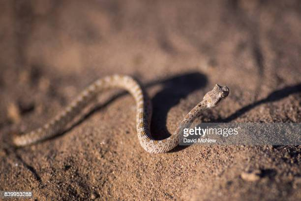 A very young Mojave desert sidewinder rattlesnake is seen shortly after dawn near Amboy Crater at Mojave Trails National Monument on August 27 2017...